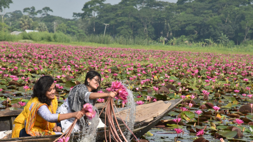 Barisal's water lilies paint the landscape with joy